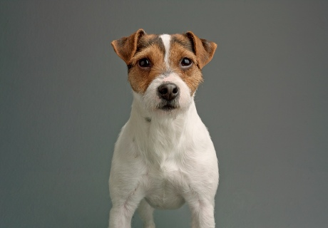 67191-Holly-Jack-Russell-1